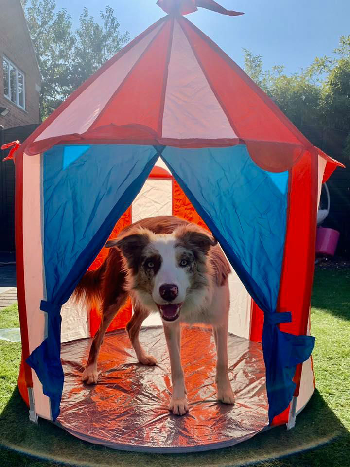 Dog Playing In Tent