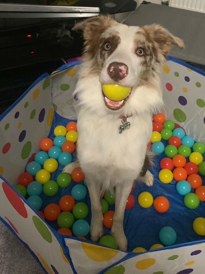 Dog Sitting In Ball Pit